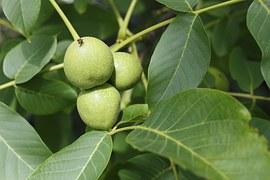 walnut-957785__180