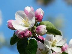 plané jablko